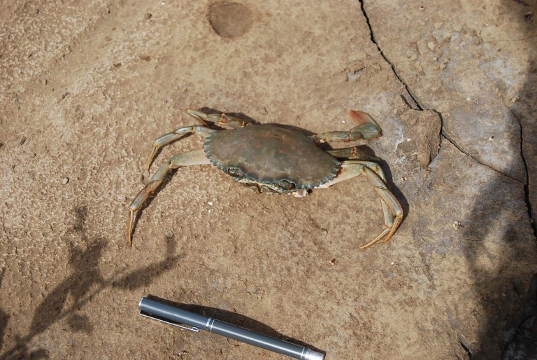 Crab and shell fish are also common.