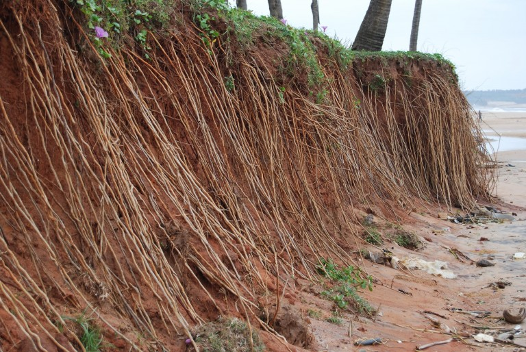 ROOTS EXPOSED BY TSUNAMI EROSION.