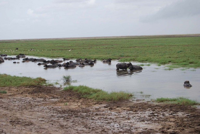 Water buffaloes enjoy a dip regularly in t hese waters.