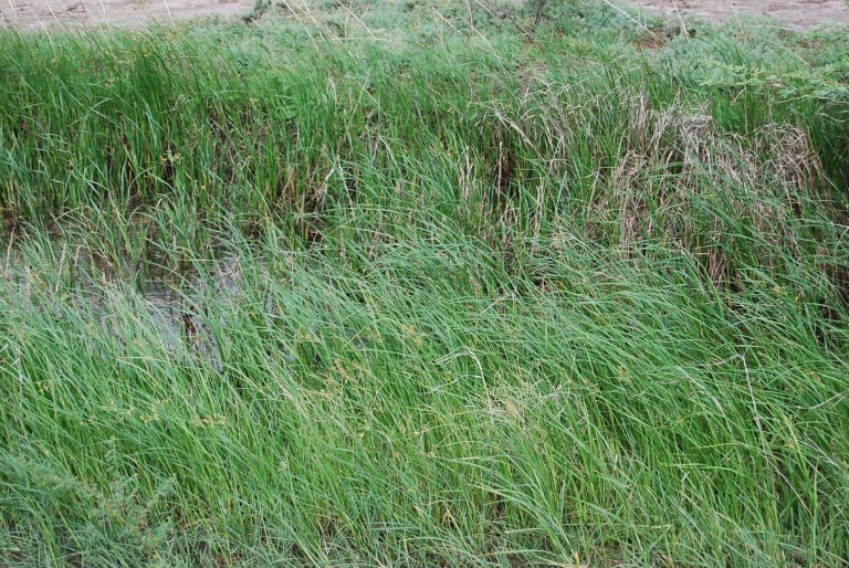 This green grass is a fodder for the cattle in the village.