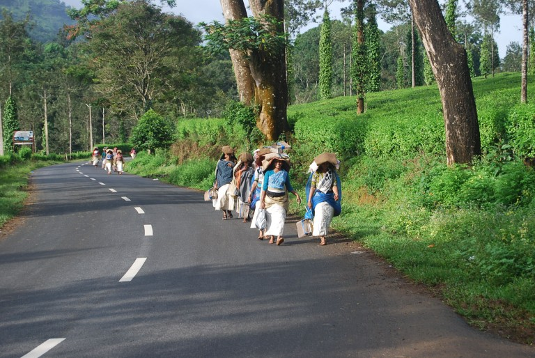 Women march fast to start plucking tea.