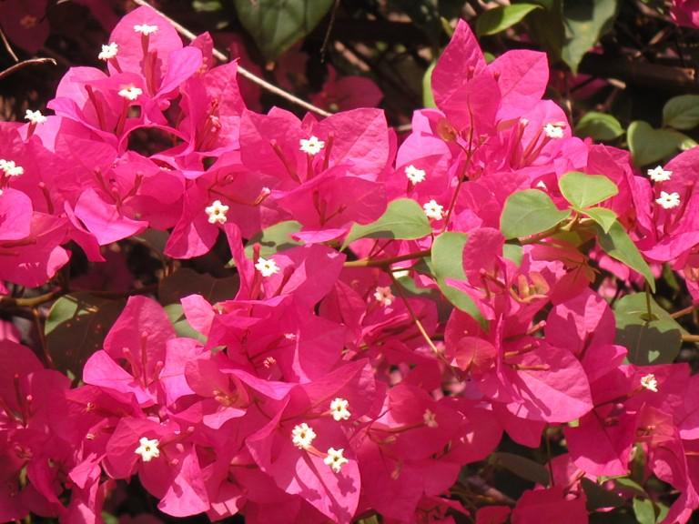 Summer blooms, University Park, Kariavattom, India